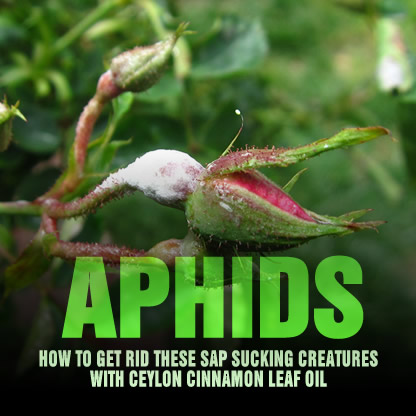 how to get rid of aphids ants with cinnamon oil. Black Bedroom Furniture Sets. Home Design Ideas