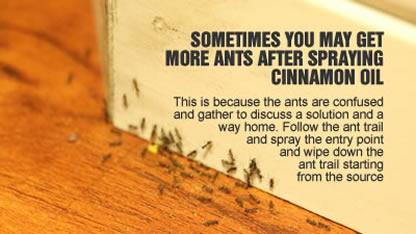 cinnamon and ants