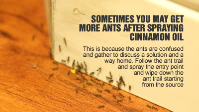 how to kill black ants